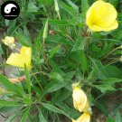Buy Herb Oenothera Biennis Seeds 200pcs Plant Evening Primrose For Yue Jian Cao