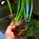Buy Acorus Tatarinowii Herb Seeds 200pcs Plant Calamus For Shi Cang Pu