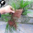 Buy Acorus Tatarinowii Herb Seeds 400pcs Plant Calamus For Shi Cang Pu