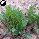 Buy Atractylodes Chinensis Herb Seeds 200pcs Plant Atractylodes For Bei Cang Zu