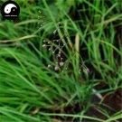 Buy RADIX CYNANCHI PANICULATI Seeds 200pcs Plant Cynanchum For Xu Chang Qing