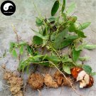 Buy Herb Poria Cocos Seeds 240pcs Plant Poria Cocos For Fu Ling