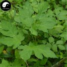 Buy Herb Angelica Pubescens Seeds 200pcs Plant Pubescent Angelica For Du Huo