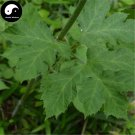 Buy Herb Angelica Pubescens Seeds 100pcs Plant Pubescent Angelica For Du Huo