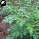 Buy Herb Hogfennel Seeds 100pcs Plant Peucedanum Praeruptorum For Qian Hu