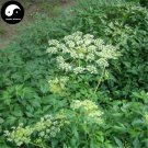 Buy Herb Hogfennel Seeds 200pcs Plant Peucedanum Praeruptorum For Qian Hu