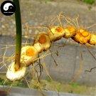 Buy Rhizoma Polygonati Seeds 60pcs Plant Polygonatum Sibiricum For Huang Jing