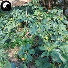 Buy Rhizoma Paridis Seeds 12pcs Plant Chinese Paris Rhizome For Yunnan Chong Lou