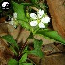 Buy Radix Pseudostellariae Seeds 120pcs Plant Heterophylly Falsestarwort For Tai Zi Shen