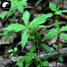 Buy Radix Pseudostellariae Seeds 60pcs Plant Heterophylly Falsestarwort For Tai Zi Shen