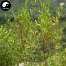 Buy Dodonaeae Viscosae Seeds 240pcs Plant Clammy Hopseedbush For Che Sang Zi