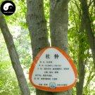 Buy Eucommia Ulmoides Seeds 240pcs Plant Eucommiae Gutta Tree For Du Zhong