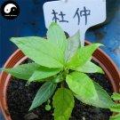 Buy Eucommia Ulmoides Seeds 60pcs Plant Eucommiae Gutta Tree For Du Zhong