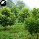 Buy Cinnamomum Pedunculatum Seeds 100pcs Plant Cinnamomum Tree For Tian Zhu Gui