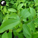 Buy Cinnamomum Pedunculatum Seeds 50pcs Plant Cinnamomum Tree For Tian Zhu Gui