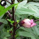 Buy Herb Hibiscus Sabdariffa Seeds 60pcs Plant Roselle Flower For Mei Gui Jia