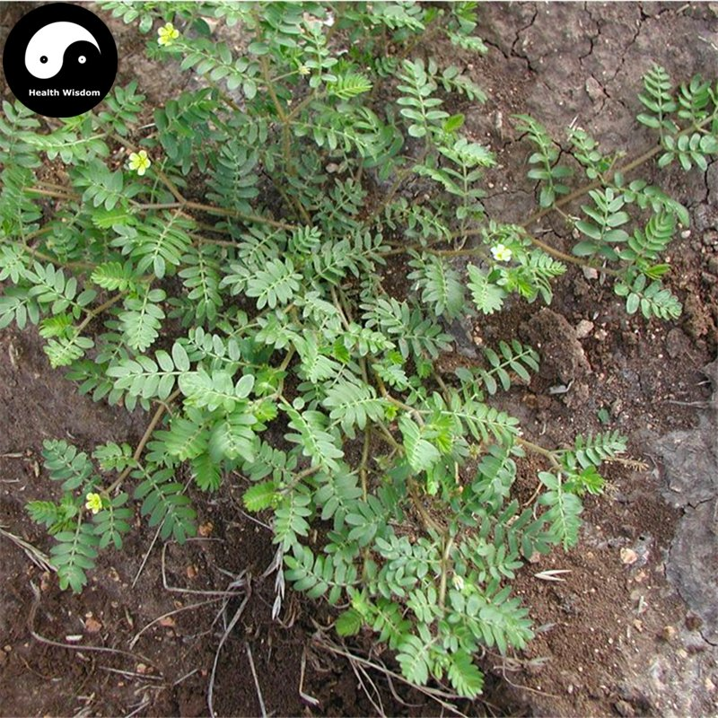 Buy Tribulus Terrestris Seed 400pcs Plant Herba Tribuli For Bai Ji Li