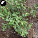 Buy Tribulus Terrestris Seed 400pcs Plant Herba Tribuli For Bai Ji Li