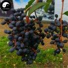 Buy Ligustrum Lucidum Seeds 200pcs Plant Glossy Privet Tree For Nv Zhen