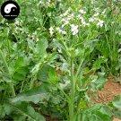 Buy Herb Radish Seeds 400pcs Plant Raphanus Sativus For Lai Fu Zi