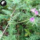 Buy Astragali Complanati Seeds 400pcs Plant Flastem Milkvetch For Sha Yuan Zi
