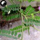 Buy Astragali Complanati Seeds 100pcs Plant Flastem Milkvetch For Sha Yuan Zi