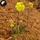 Buy Draba Nemorosa Seeds 400pcs Plant SEMEN LEPIDII For DESCURAINIAE Ting Li