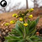 Buy Draba Nemorosa Seeds 200pcs Plant SEMEN LEPIDII For DESCURAINIAE Ting Li
