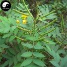 Buy Cassia Occidentalis Seeds 200pcs Plant Herba Coffee Senna For Wang Jiang Nan