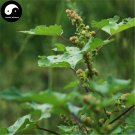 Buy Xanthium Sibiricum Seeds 120pcs Plant Siberian Cocklour For Cang Er