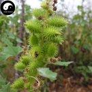 Buy Xanthium Sibiricum Seeds 240pcs Plant Siberian Cocklour For Cang Er