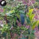 Buy Brucea Javanica Seeds 60pcs Plant Java Brucea Tree For Herb Ya Dan Zi