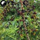 Buy Brucea Javanica Seeds 240pcs Plant Java Brucea Tree For Herb Ya Dan Zi