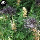 Buy Sophora Alopecuroides Seeds 240pcs Plant Herb Bitter Beans For Ku Dou Zi