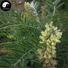 Buy Sophora Alopecuroides Seeds 60pcs Plant Herb Bitter Beans For Ku Dou Zi