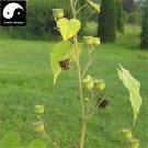 Buy Chingma Abutilon Seeds 100pcs Plant Cluster Mallow For Malvae Dong Kui Zi