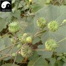 Buy Chingma Abutilon Seeds 400pcs Plant Cluster Mallow For Malvae Dong Kui Zi
