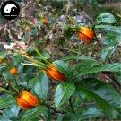 Buy Cape Jasmine Seeds 240pcs Plant Gardenia Jasminoides For Zhi Zi Hua