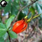 Buy Cape Jasmine Seeds 60pcs Plant Gardenia Jasminoides For Zhi Zi Hua