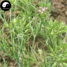 Buy Cuminum Cyminum Seeds 200pcs Plant Herb Cumin For Chinese Spices Zi Ran