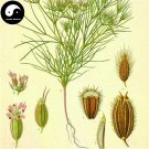 Buy Cuminum Cyminum Seeds 400pcs Plant Herb Cumin For Chinese Spices Zi Ran