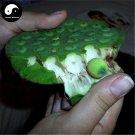 Buy Fruit Lotus Seeds 100pcs Water Plant Herb Nelumbo Nucifera For Food Lian Zi