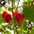Buy Cornus Officinalis Seeds 120pcs Plant Cornus Tree For Chinese Shan Zhu Yu