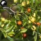 Buy Wild Jujube Tree Seeds 240pcs Plant Ziziphus Jujuba For Chinese Suan Zao Ren