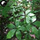 Buy Siberian Ginseng Seeds 60pcs Plant Acanthopanax Senticosus For Ci Wu Jia
