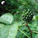 Buy Siberian Ginseng Seeds 120pcs Plant Acanthopanax Senticosus For Ci Wu Jia