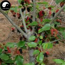 Buy Mulberry Tree Seeds 200pcs Plant Chinese Fructus Mori For Fruits Sang Shen