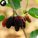Buy Mulberry Tree Seeds 100pcs Plant Chinese Fructus Mori For Fruits Sang Shen