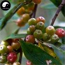 Buy Elaeagnus Umbellate Seeds 80pcs Plant Autumn Elaeagnus Tree For Niu Nai Zi