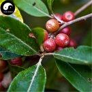 Buy Elaeagnus Umbellate Seeds 20pcs Plant Autumn Elaeagnus Tree For Niu Nai Zi